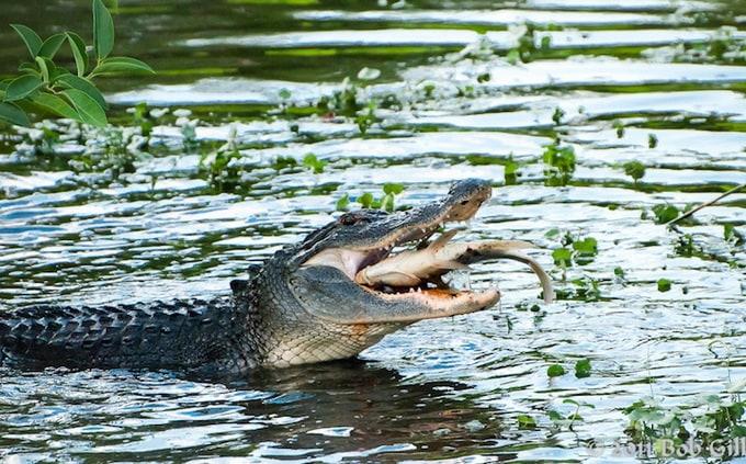 alligator__02