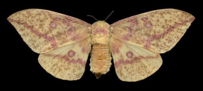 Imperial Moth (7704 - Eacles imperalis pini)