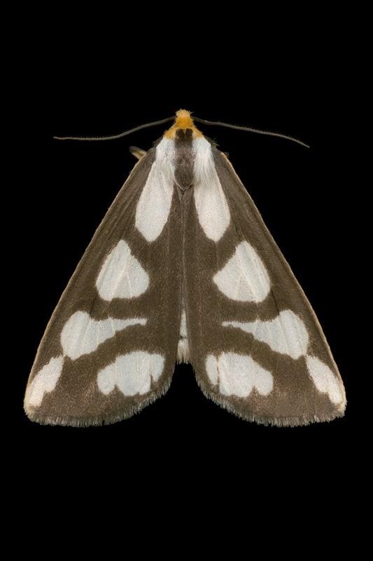 Leconte's Haploa Moth (8111 - Haploa lecontei)