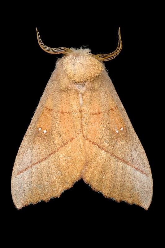 White-dotted Prominent Moth (7915 - Nadata gibbosa)