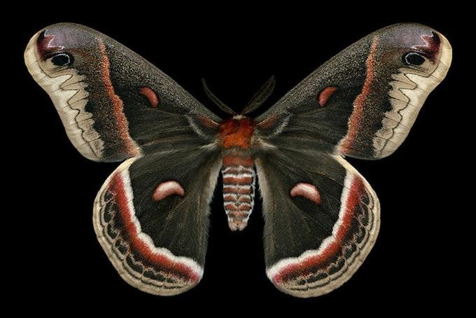 Cecropia Moth (7767 - Hyalophora cecropia)