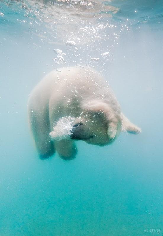 polarbear0