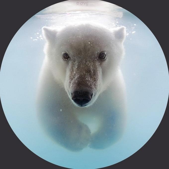 polarbear5