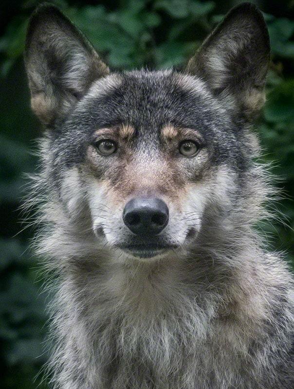 wolfademeit9