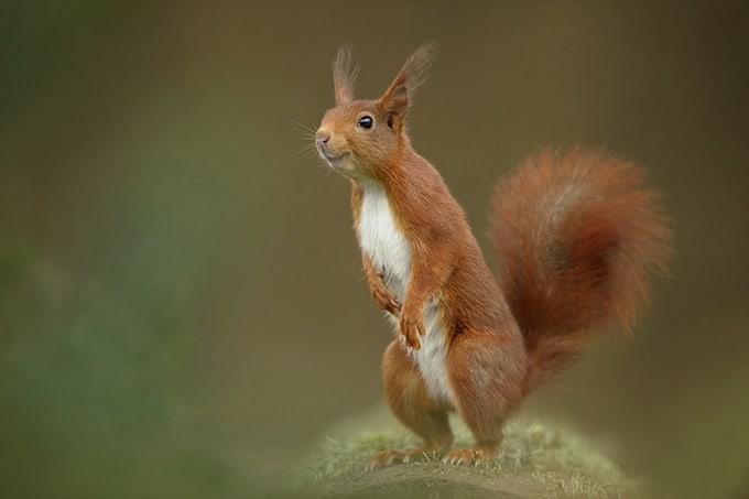 Red squirrel Sciurus vulgaris, adult female smiling, Netherlands, May