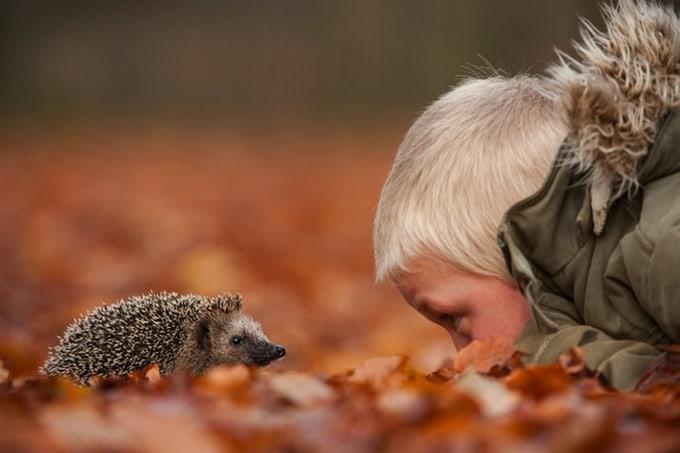 European Hedgehog (Erinaceus europeaus) looking at child