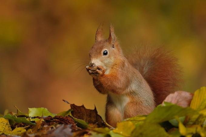 Red squirrel (Sciurus vulgaris) on forest ground