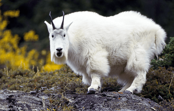 mtn-goat