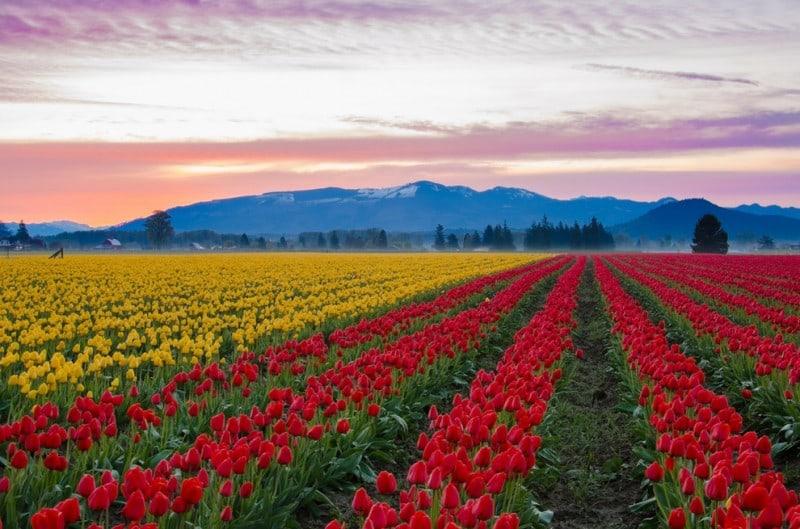 Skagit Valley Tulip Fields, United States