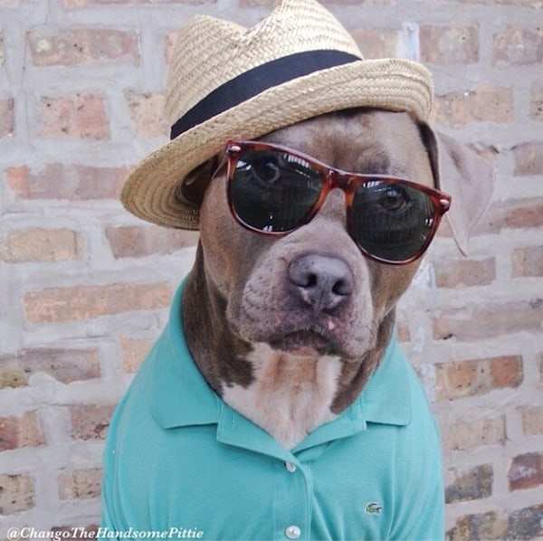 Meet_Chango_The_Swaggiest_And_Most_Handsome_Pit_Bull_On_Instagram_2014_02
