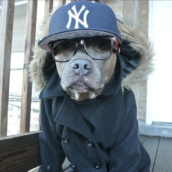 Meet_Chango_The_Swaggiest_And_Most_Handsome_Pit_Bull_On_Instagram_2014_05