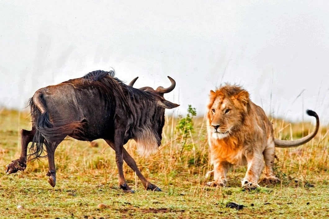 lion-hunts-wildebeest-1