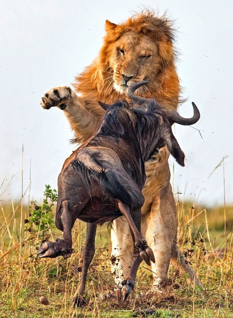 lion-hunts-wildebeest-2