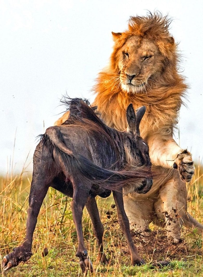lion-hunts-wildebeest-3