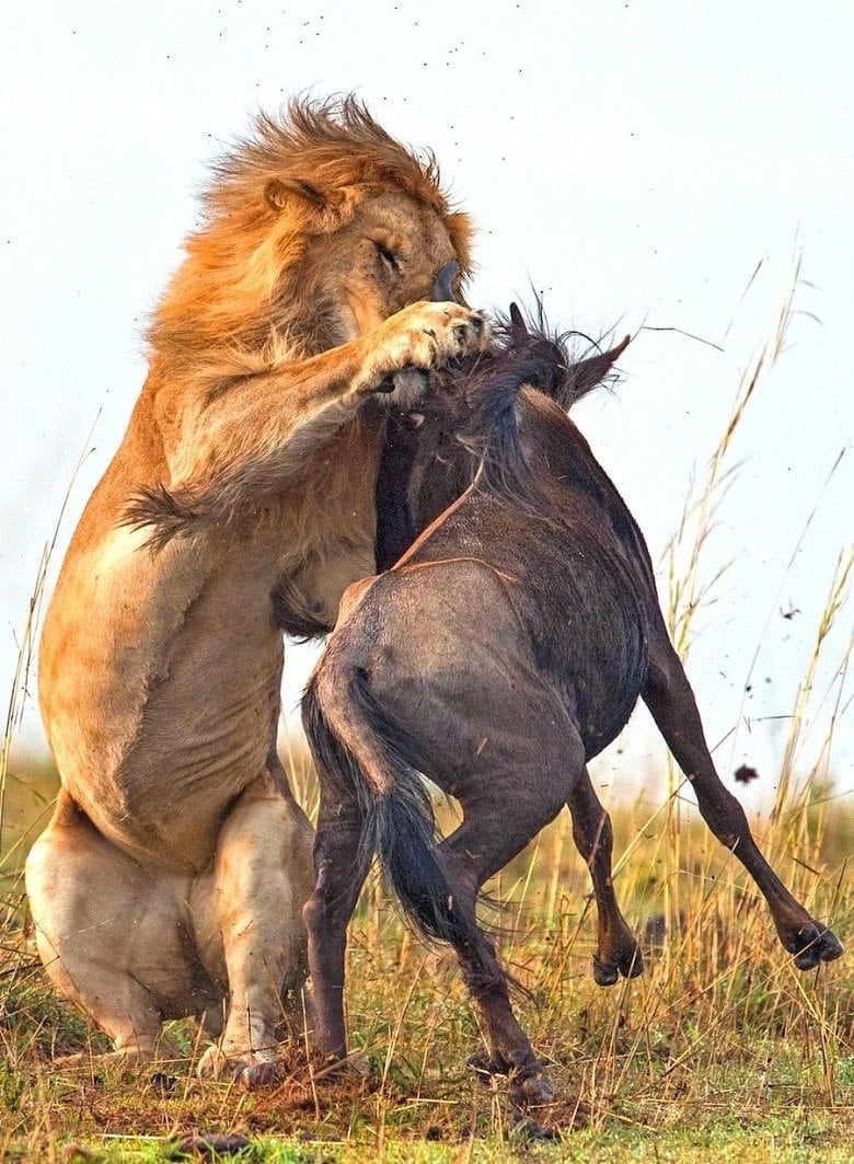 lion-hunts-wildebeest-4