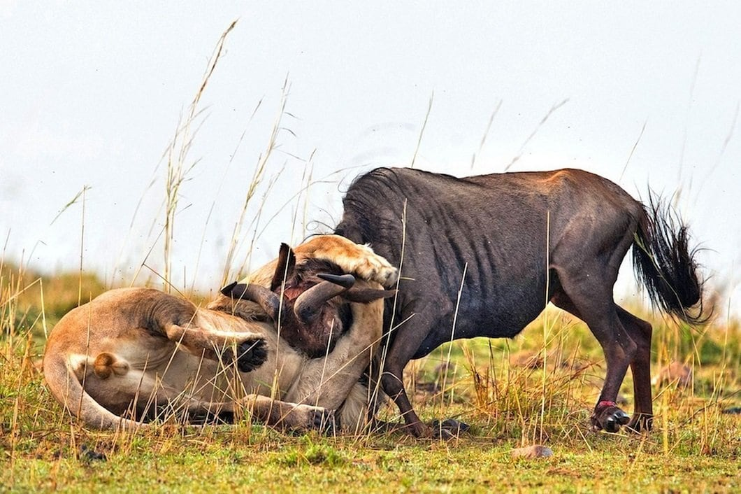 lion-hunts-wildebeest-7