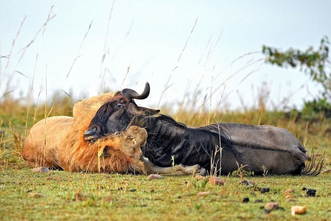 lion-hunts-wildebeest-8