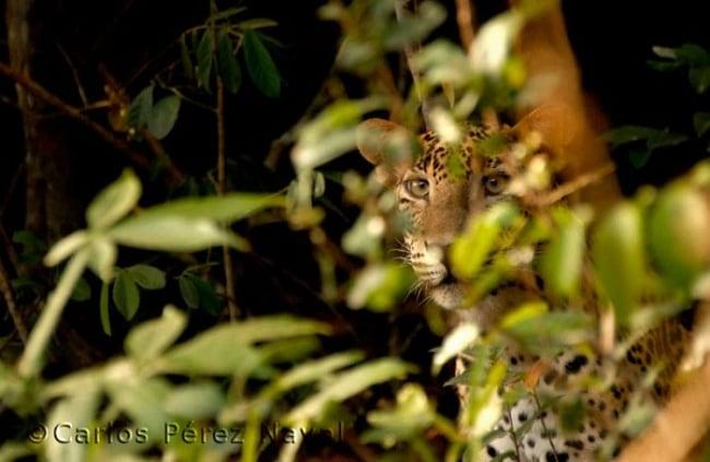 10431660-R3L8T8D-650-wildlife-photography-carlos-perez-naval-4