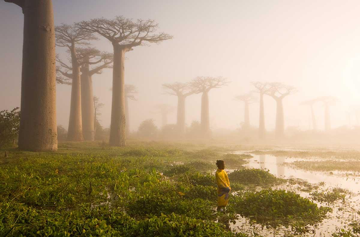 Baobob Trees In Madagascar