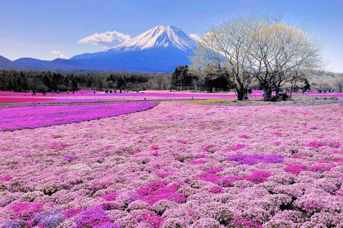 Smelling the pretty flowers near Mt. Fuji, Japan