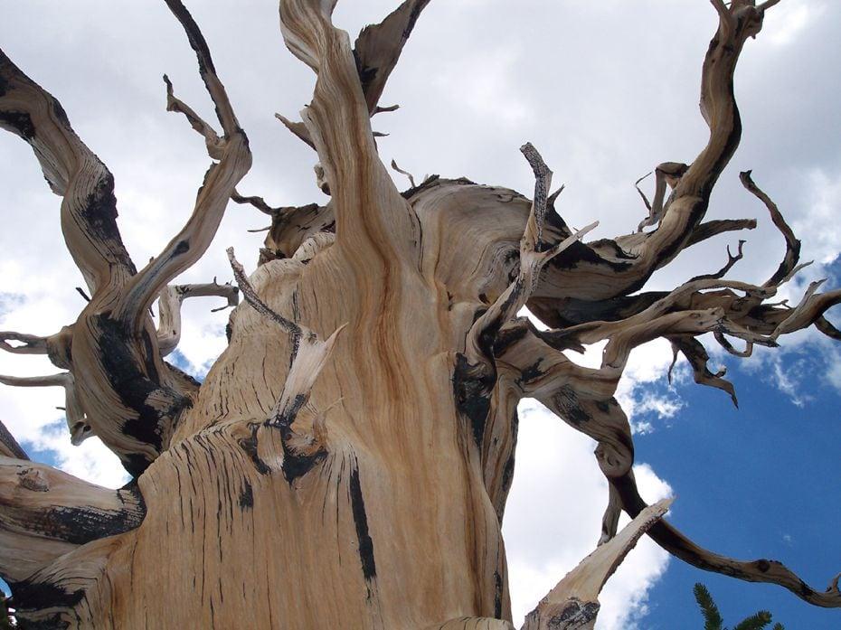 Bristlecone-Pines-021