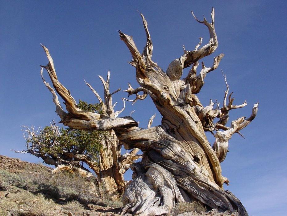 Bristlecone-Pines-041