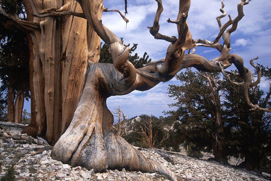 Bristlecone-Pines-051