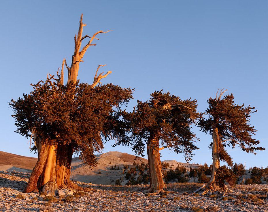 Bristlecone-Pines-101