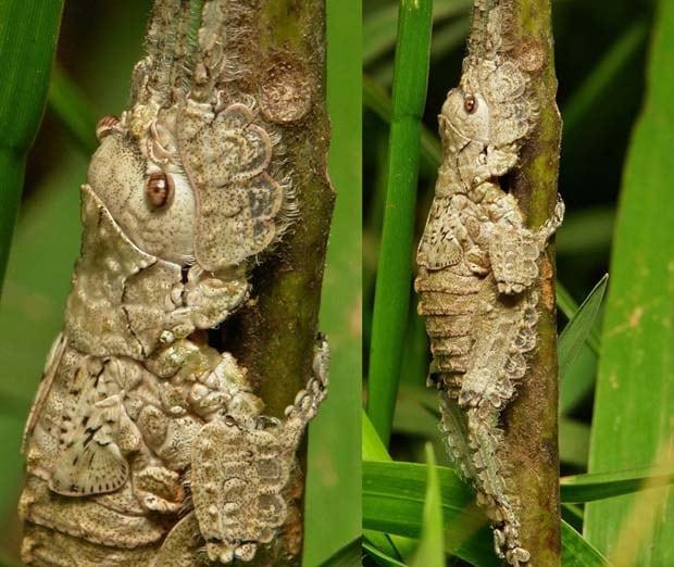 22 - Katydid Nymph Pseudophyllinae Cymatomerini Olcinia