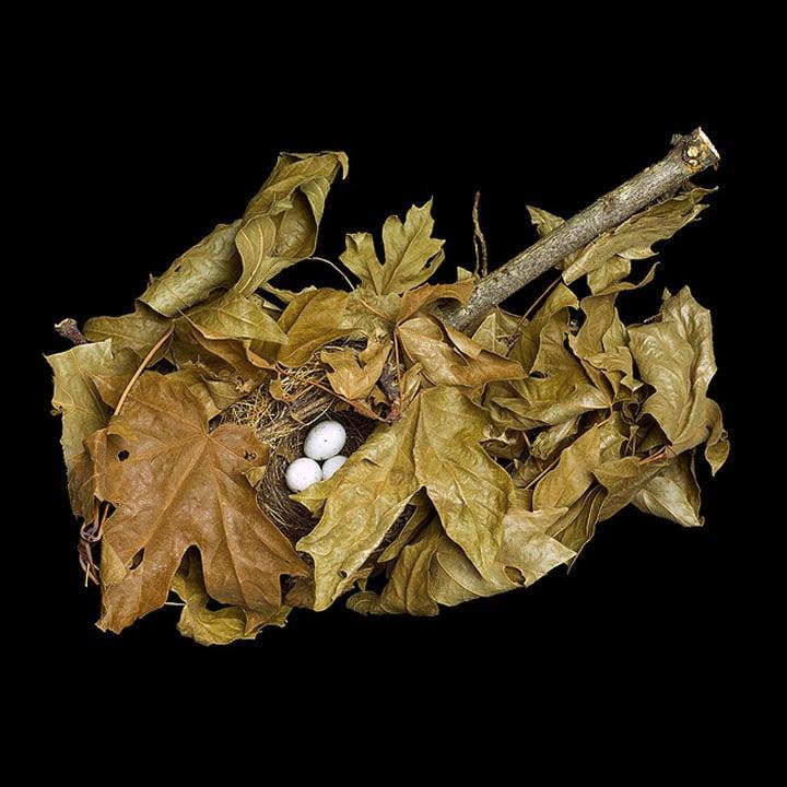 pine-siskin-in-maple-branch-sharon-beals