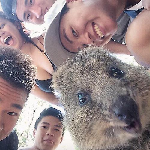 3043078-slide-quokka-selfie-trend-cute-rodent-australia-4605