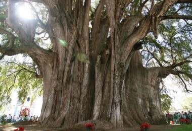 13 Most Beautiful and Famous Trees on Earth 3