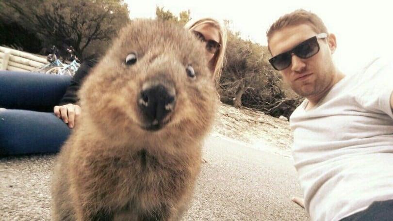Cuteness Break: Meet The 'Quokka,' World's Happiest Animal On Instagram 15