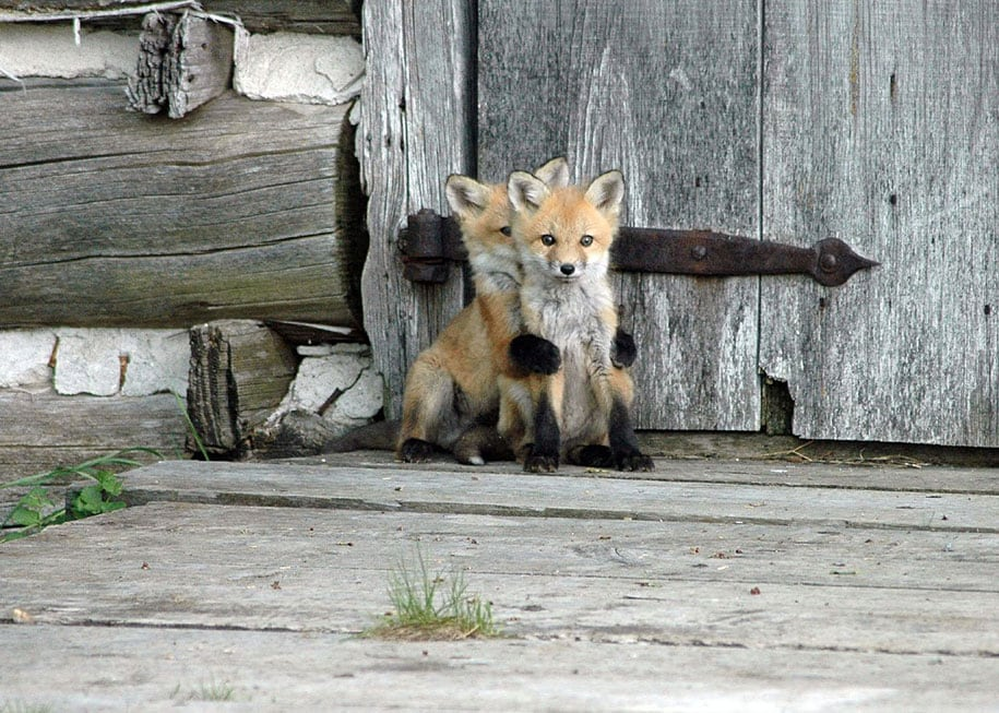 beautiful-foxes-wildlife-photography-10