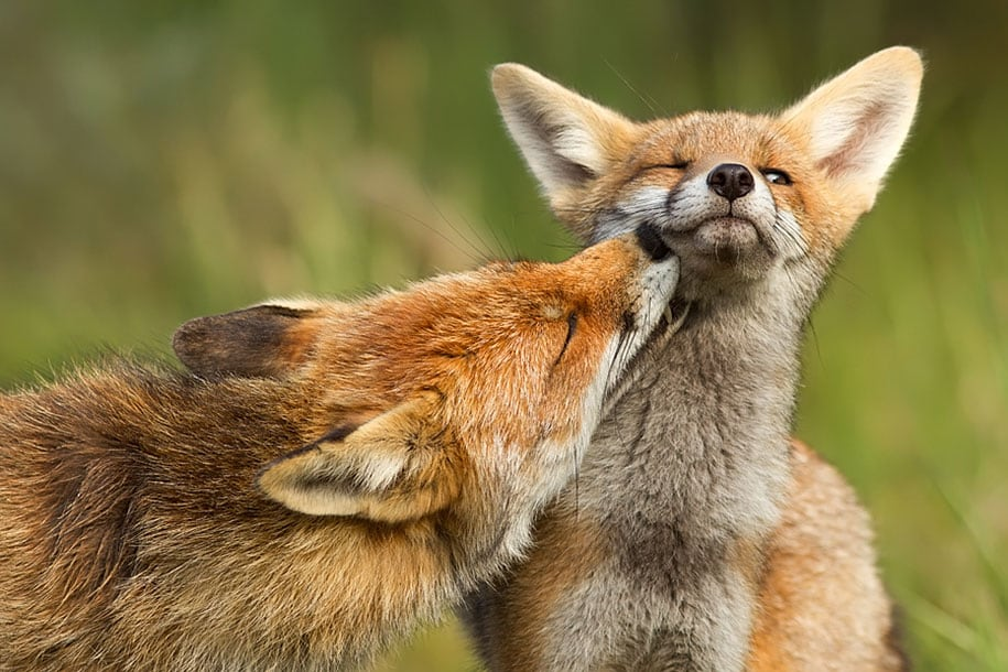 beautiful-foxes-wildlife-photography-14