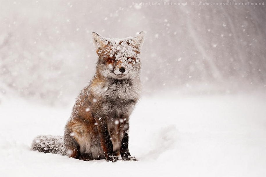 beautiful-foxes-wildlife-photography-20