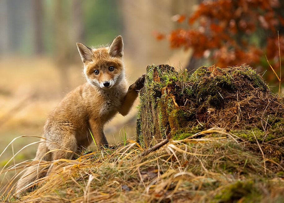 beautiful-foxes-wildlife-photography-4