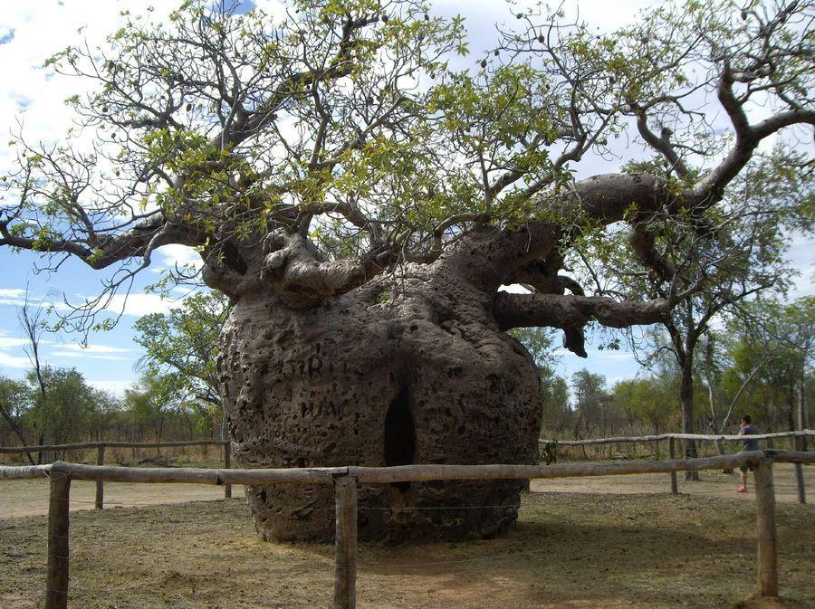 boab-prison-tree-1