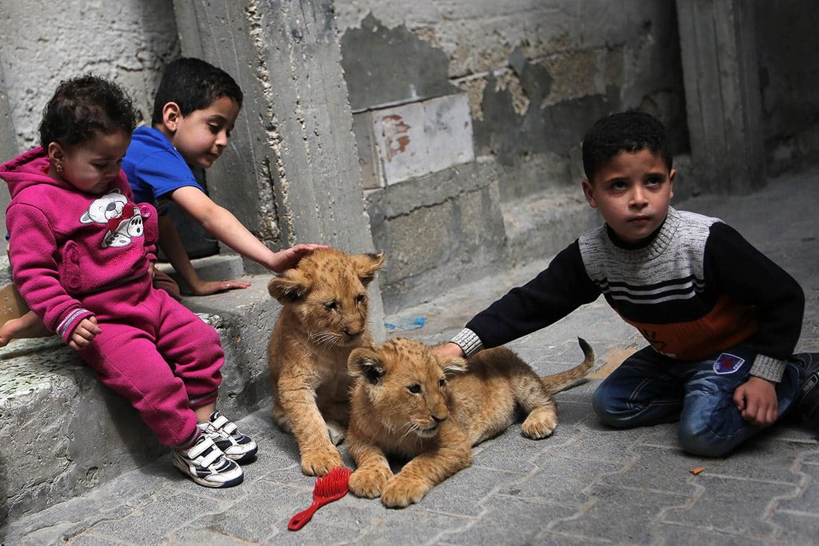 gaza-pet-lion-cubs-1