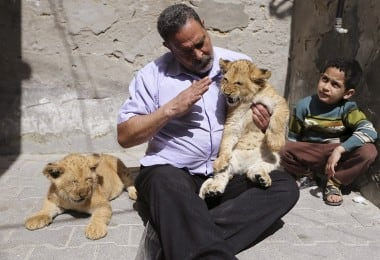 Lion Cubs Turn Into Stars Of Gaza Family 1
