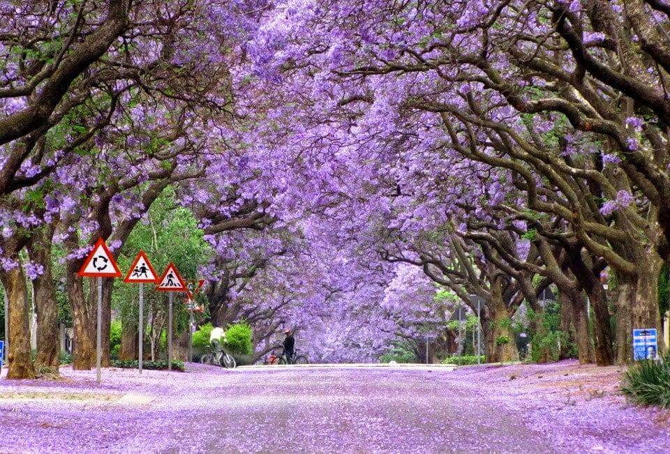 jacaranda-trees-south-africa