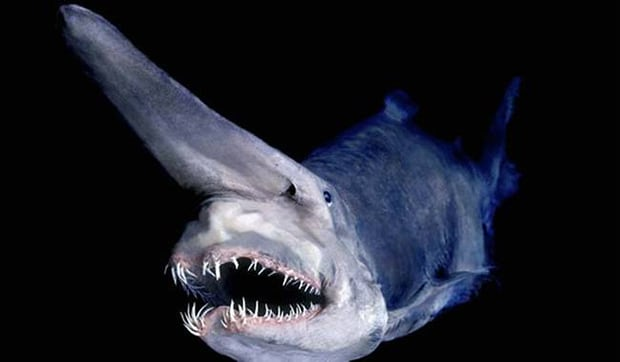 The goblin shark. It's the perfect description for such a menacing looking creature.