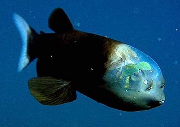 Barreleye Fish. Is it just me or does it look like he has leaves inside his head?