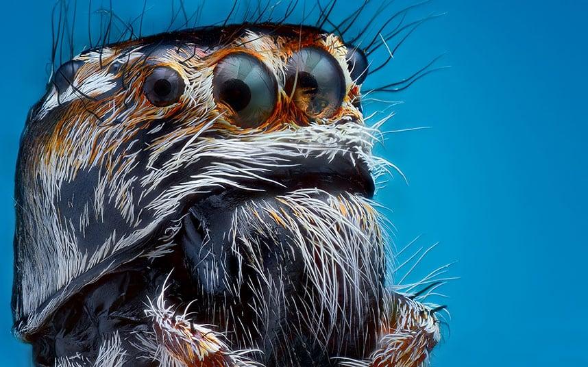 sijumping-spider