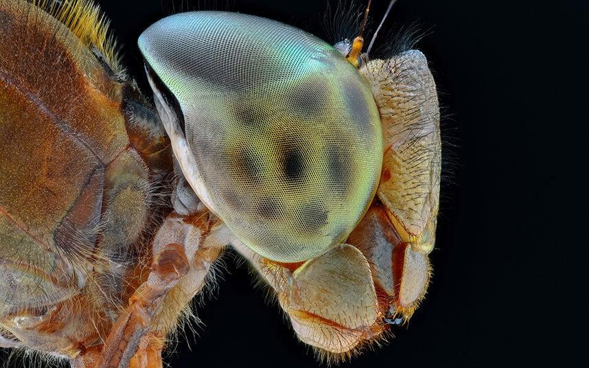 tigerdragonfly