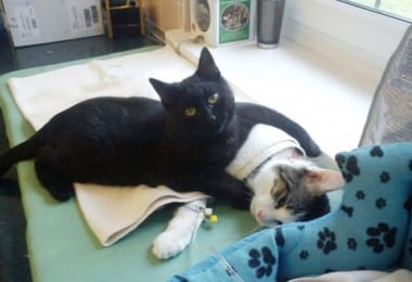 Amazing Nurse Cat From Poland Helps Take Care Of Sick Cats And Dogs 1
