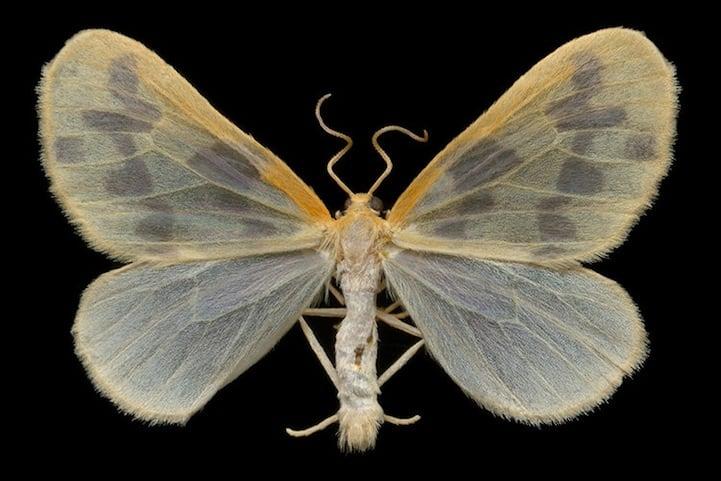 The Beggar Moth (7440 - Eubaphe mendica) wingspread 23 mm Collected July 3, 2006 at Lac Bonin, Quebec Scanned July 5, 2006 Epson 4870 at 4800 dpi (600dpi ref) Noise Ninja 1.2 305%