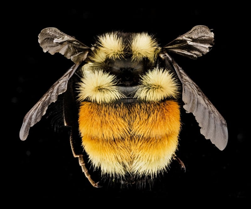 Bumble Bee by USGS Bee Inventory and Monitoring Lab via Flickr