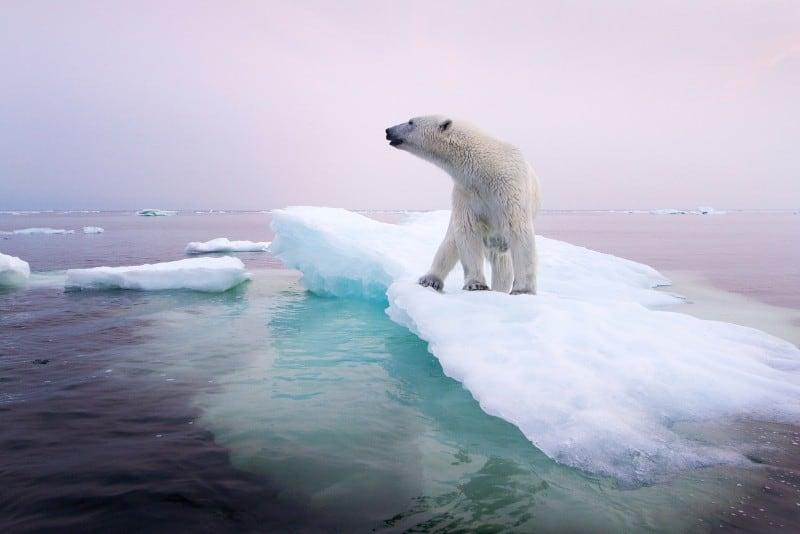 global warming effect on polar bears