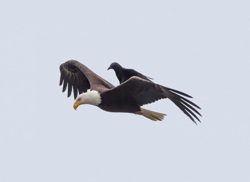funny-animals-crow-riding-eagle-phoo-chan-5